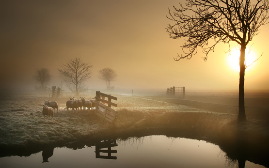 Sheep in the Morning