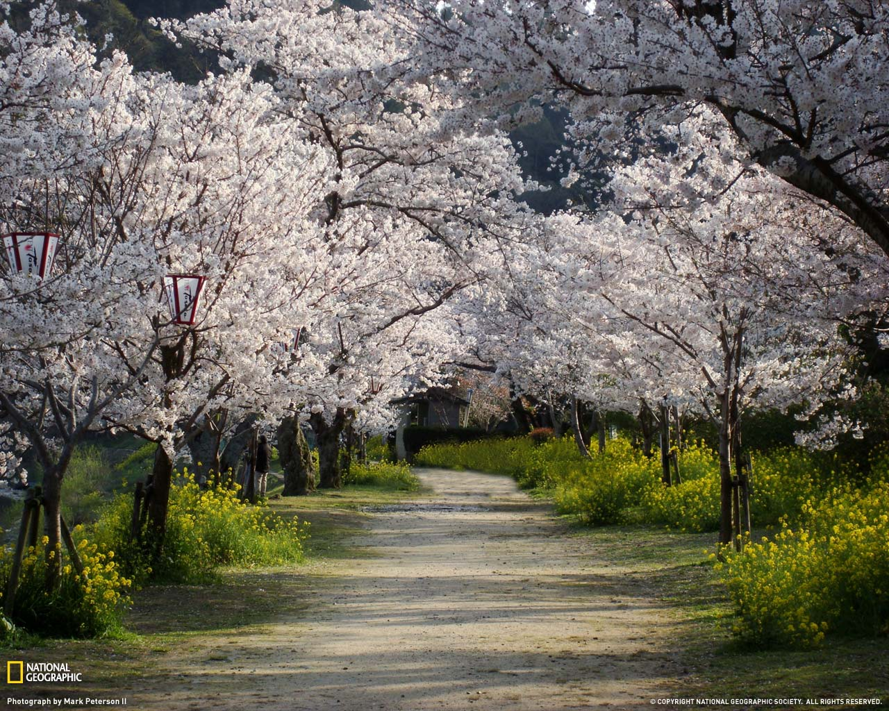 Cherry Trees and Walkaway