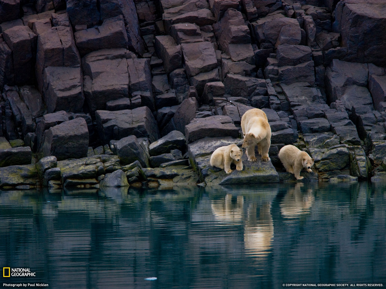 Polar Bear, Cubs and Svalbard, Norway
