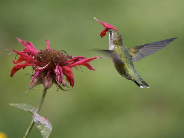 Hummingbirds Pics