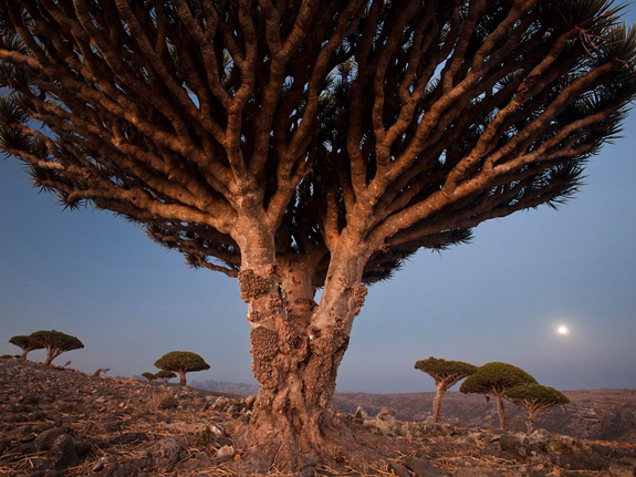 Dragon's Blood Trees, Socotra